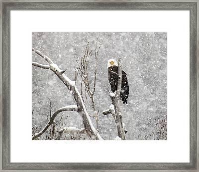 Bald Eagle In A Blizzard 3 Framed Print