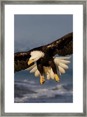 Bald Eagle In Action Framed Print