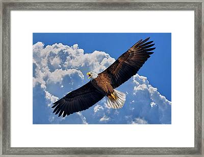 Bald Eagle In Flight Calling Out Framed Print