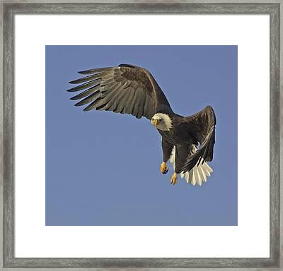 Bald Eagle In Flight  Framed Print by Tim Grams