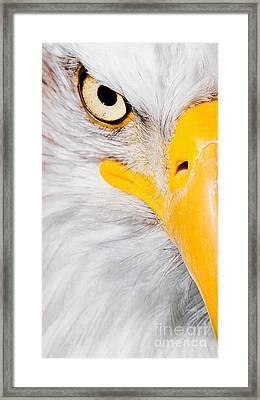 Bald Eagle In Focus Framed Print