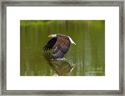 Bald Eagle In Low Flight Over A Lake Framed Print