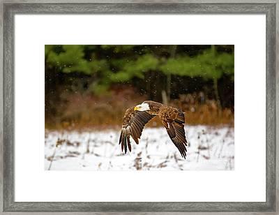 Bald Eagle In Snowstorm Framed Print