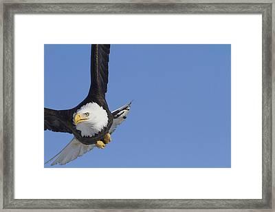 Bald Eagle In The Skies Over Portage Framed Print by Doug Lindstrand