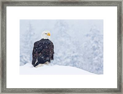 Bald Eagle In The Snow Framed Print by Brandon Broderick