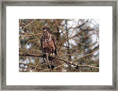Bald Eagle Juvenile 2 Framed Print by Sharon Talson