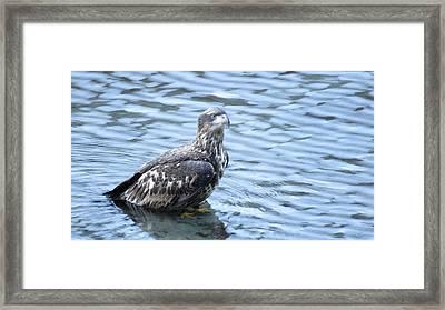 Bald Eagle Juvenile Framed Print