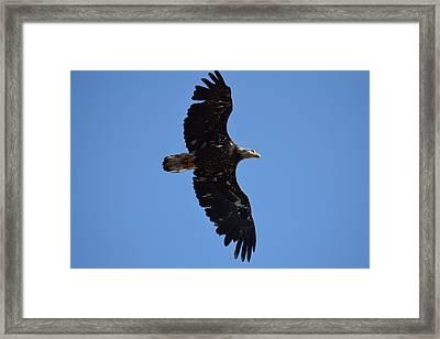 Bald Eagle Juvenile Soaring Framed Print
