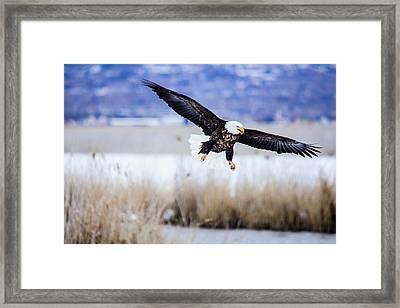 Bald Eagle Landing Framed Print