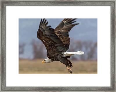 Bald Eagle Lift Off Framed Print by Marc Crumpler