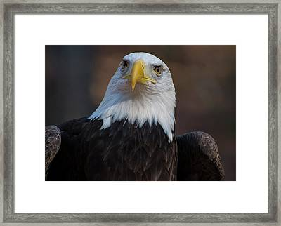 Bald Eagle Looking Right Framed Print