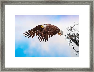 Bald Eagle  Framed Print by Mark Andrew Thomas