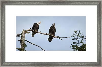 Bald Eagle Music Framed Print by Chad Davis