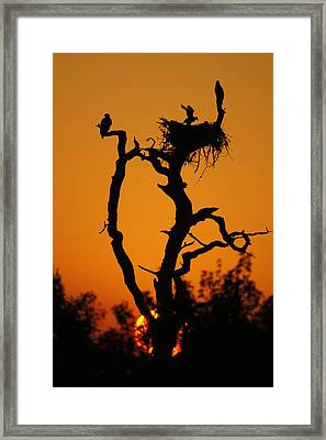 Framed Print featuring the photograph Bald Eagle Nestling At Sunset by Lynda Dawson-Youngclaus