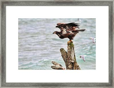 Bald Eagle On Driftwood At The Beach Framed Print by Peggy Collins