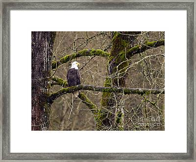 Bald Eagle On Mossy Branch Framed Print by Sharon Talson