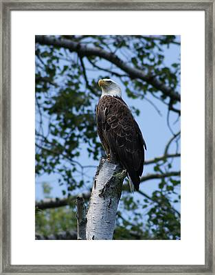 Framed Print featuring the photograph Bald Eagle On The Brule by Ron Read