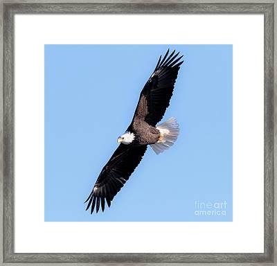 Bald Eagle Overhead  Framed Print