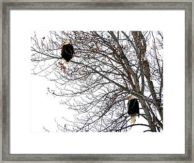 Framed Print featuring the photograph Bald Eagle Pair by Will Borden