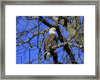 Framed Print featuring the photograph Bald Eagle by Paula Guttilla