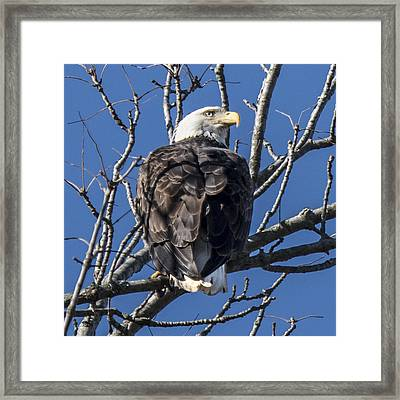 Bald Eagle Perched Framed Print