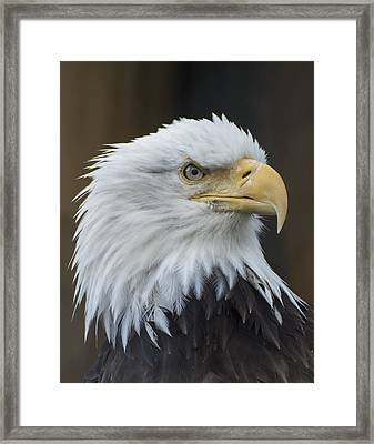 Bald Eagle Portrait Framed Print