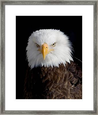 Bald Eagle Portrait Framed Print by Laurie With