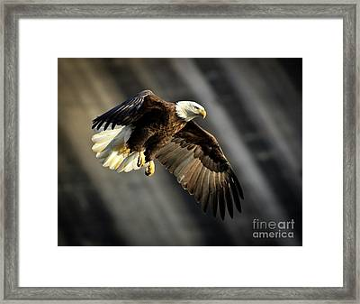 Bald Eagle Prepares To Dive Framed Print