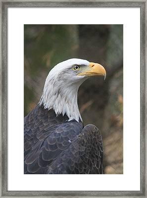 Bald Eagle Profile Framed Print
