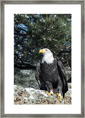 Bald Eagle Ready For Flight Framed Print