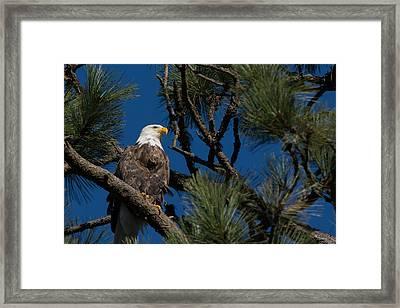 Bald Eagle Resting Framed Print