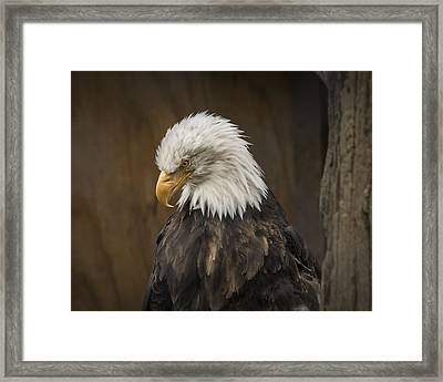 Bald Eagle Framed Print by Robin Williams