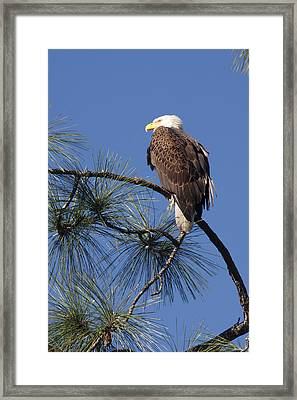 Bald Eagle Framed Print by Sally Weigand