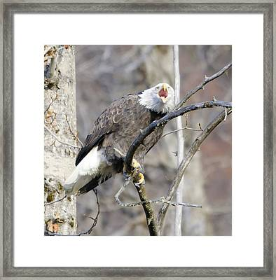 Bald Eagle Screeching Framed Print by Clarence Alford