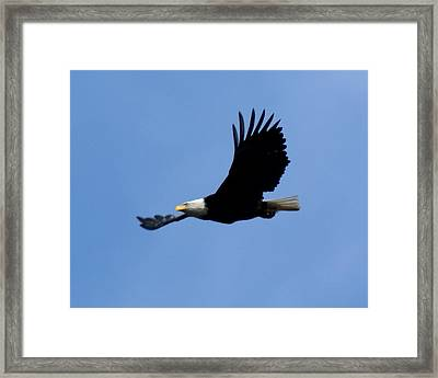 Bald Eagle Soaring High Framed Print by Ben Upham III
