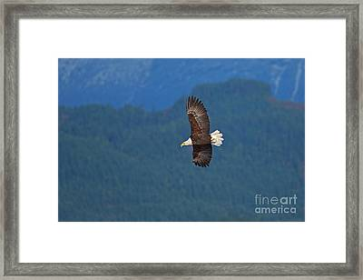 Framed Print featuring the photograph Bald Eagle Soaring  by Sharon Talson