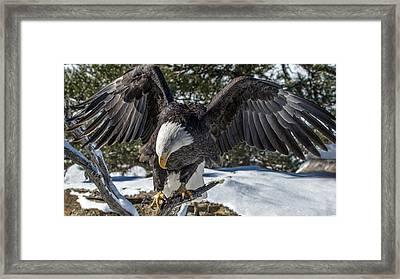 Bald Eagle Spread Framed Print