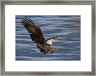 Bald Eagle Strike Framed Print
