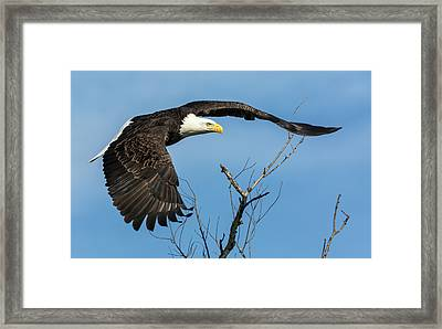 Bald Eagle Swoosh Framed Print