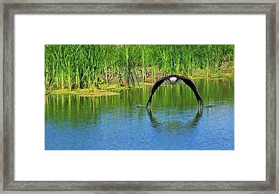 Bald Eagle Touching The Water Framed Print by CJ Park