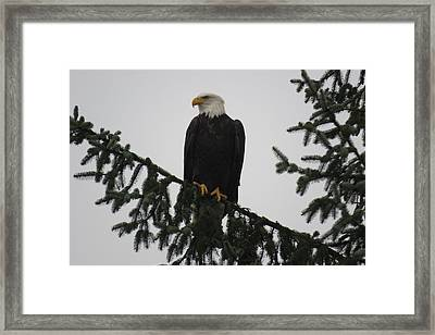 Bald Eagle Watching Framed Print