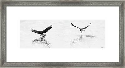 Bald Eagles Fishing Framed Print