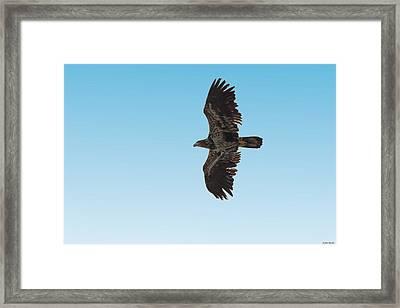 Bald Eaglet Framed Print