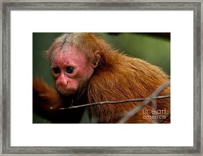 Bald Uakari Monkey Framed Print by Dant� Fenolio