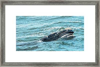 Baleen Whale Surfaces Framed Print by Tim Hester