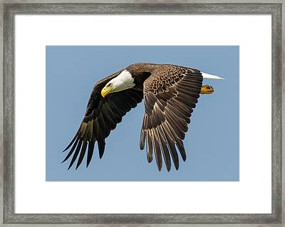 Bald Eagle In Flight Framed Print by Phil Stone