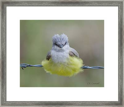 Ball Of Fluff Framed Print by CR  Courson