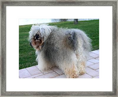 ball of fur Havanese dog Framed Print by Sally Weigand