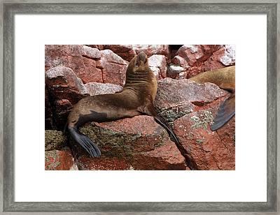 Framed Print featuring the photograph Ballestas Island Fur Seals by Aidan Moran