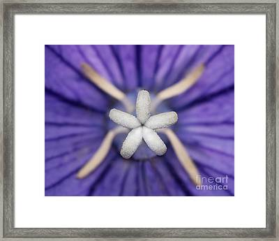 Balloon Flower Closeup Framed Print by Abeselom Zerit